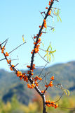 Fruits de Seabuckthorn Photo stock