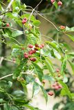 Fruits de sieboldianus d'Euonymus photographie stock