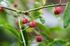 Fruits de sieboldianus d'Euonymus photo libre de droits