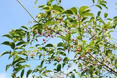 Fruits de sieboldianus d'Euonymus image stock