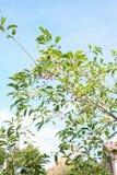 Fruits de sieboldianus d'Euonymus images stock