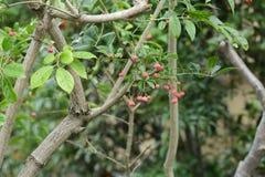 Fruits de sieboldianus d'Euonymus photographie stock libre de droits
