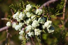 Fruits de thuya Photo stock