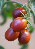 Fruits de tomate Image libre de droits