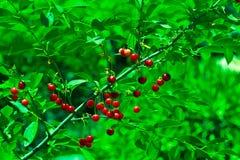 Fruits des cerises sur l'arbre, ressort photo stock