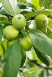 Fruits des pommes non mûres sur la branche de l'arbre Image stock
