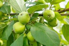 Fruits des pommes non mûres sur la branche de l'arbre Images stock