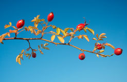 Fruits of Dogrose. Fresh Fruits of Dogrose against blue sky Stock Photography