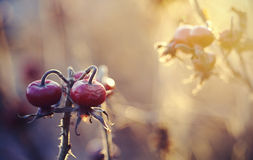 Fruits of a dogrose on autumn dry branches. Royalty Free Stock Photos