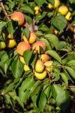 Fruits doux mûrs d'abricot Images libres de droits