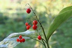 Fruits du muguet Photo libre de droits