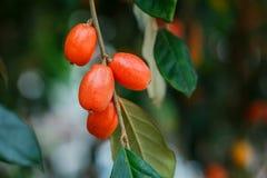 Fruits `Elaeagnus pungens` close-up,Fruit in a beautiful orange-sour forest in Thailand,Elaeagnus latifolia iolated. stock photography