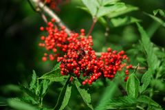 Fruits of elderberry red. Against the background of green leaves Royalty Free Stock Photos
