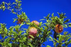 Fruits et branches de grenade contre le ciel bleu Image stock