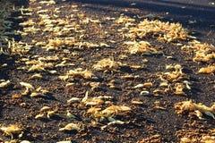 Fruits et feuilles jaunes de tilleul sur l'asphalte gris-foncé comme fond Image libre de droits