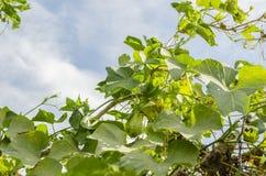 Fruits et fleur de Christophine sur la vigne photos stock