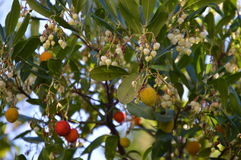 Fruits et fleurs de litchi photos libres de droits