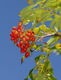 Fruits of the European Rowan Stock Photography
