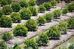 Fruits farm plantation Royalty Free Stock Image
