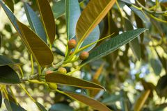 Fruits of ficus growing on a tree. In the park royalty free stock photo