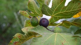 Fruits of fig tree on branch. A fruits of fig tree on branch stock video footage