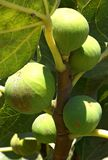Fruits fig on the tree. Fruits green fig on the tree with leaves Royalty Free Stock Photography