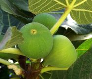 Fruits fig on the tree. Fruits green fig on the tree with leaves Royalty Free Stock Images