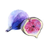 Fruits of figs. Isolated on white background. Watercolor illustration Stock Photos