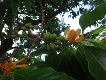 Fruits and flower of champak tree Stock Photo