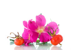Fruits and flowers of wild rose Royalty Free Stock Images