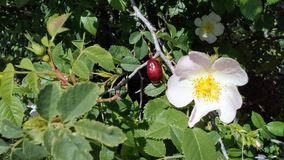 Fruits and flowers of wild roses stock photos