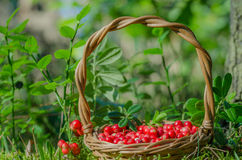 Fruits of forest (berries) in basket Royalty Free Stock Image