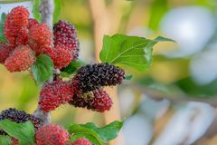 Fruits frais de mûre sur l'arbre, mûre avec très utile pour le traitement et se protéger des diverses maladies photos libres de droits