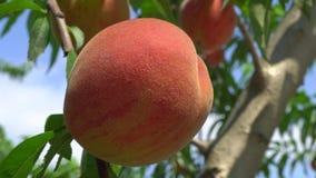 Fruits frais de pêche sur un arbre banque de vidéos