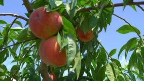 Fruits frais de pêche sur un arbre clips vidéos