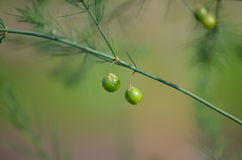 Fruits of the Garden Asparagus (Asparagus officinalis) Royalty Free Stock Photography