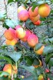 Fruits in the garden Stock Photos