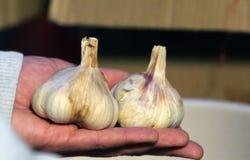 Fruits of garlic Royalty Free Stock Image
