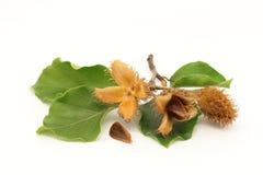 Fruits, graine et feuillage européens de hêtre Image stock