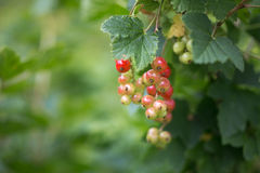 Fruits green berries green immature currants. Natural background Stock Photos