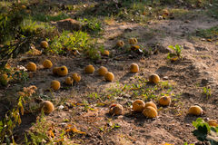 Fruits on the ground. Fruits in the ground on a sunny autum day Royalty Free Stock Photos