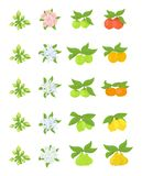 Fruits growth stages. Apple, peach and lemon mandarin pear phases. Vector illustration. Ripening progression. Fruit life cycle. Animation plant. Flat vector vector illustration