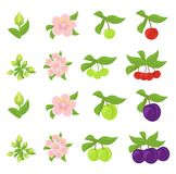 Fruits growth stages. Cherries and Plum Damsons phases. Vector illustration. Ripening progression. Fruit life cycle animation. Fruits growth stages. Cherries and stock illustration
