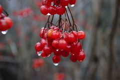 Fruits of a guelder rose on a rainy day in winter stock image
