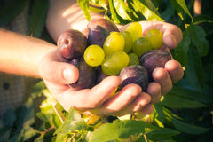 Fruits hands plums grapes light sun Royalty Free Stock Image