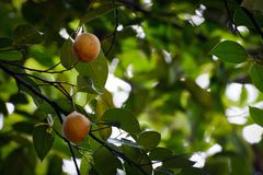 Fruits hanging on a fragrant nutmeg tree stock images