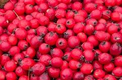 Fruits of Hawthorn ordinary (lat. Crataegus laevigata), backgrou. Ripe fruits of Hawthorn ordinary (lat. Crataegus laevigata), background Stock Images