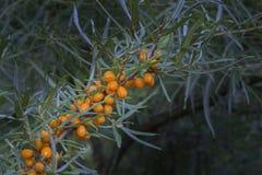 Fruits of Hippophae rhamnoides Royalty Free Stock Photo