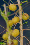 Fruits of Indian gooseberry Phyllanthus emblica Stock Photography