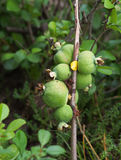 The fruits of Japan quince Stock Images